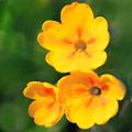 семена однолетней настурции