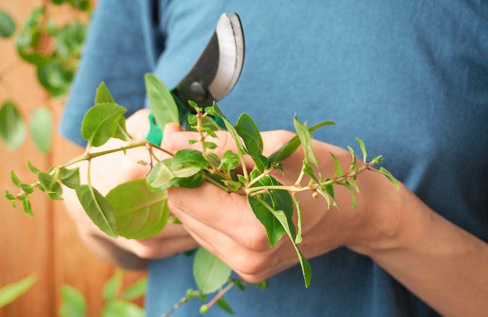 Подрезка секатором комнатных растений