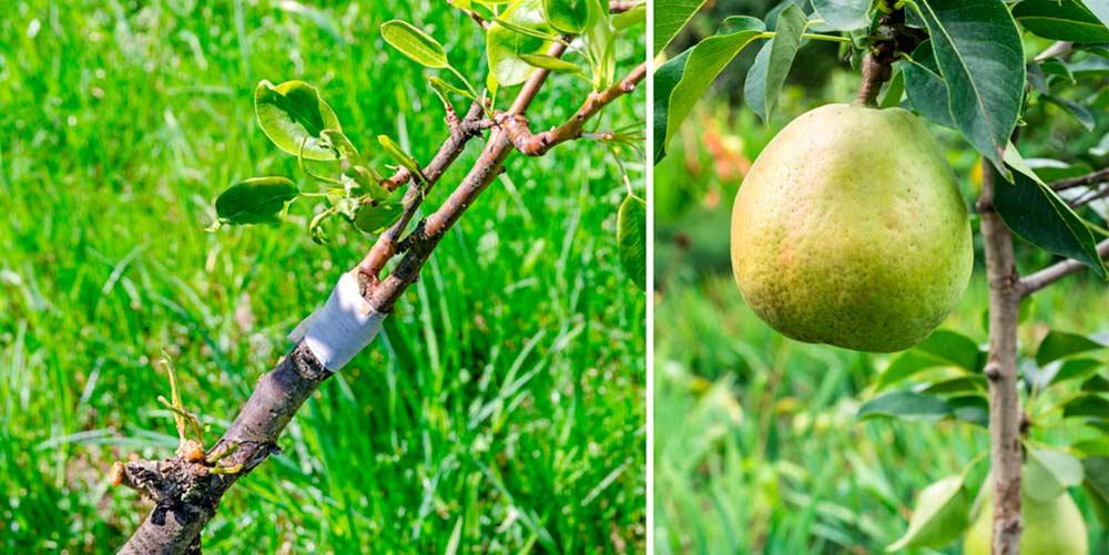 Привика груши на яблоню, плод груши