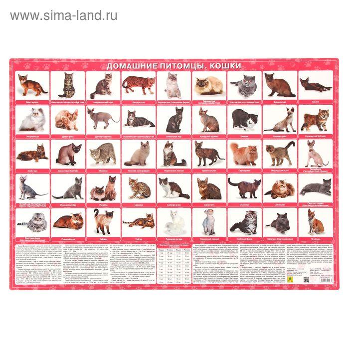 Плакат настольный. Домашние питомцы. Кошки, 59*43см, Кр634п