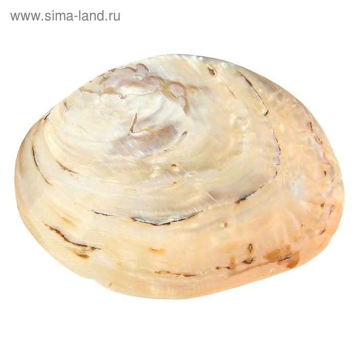 Ракушка декоративная, 12-13 см
