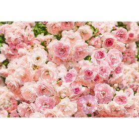 """Фотообои Komar 8-937 """"Розы"""", 3,68х2,54 м"""