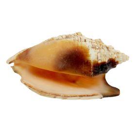 Морская раковина  Стромбус  булла 12011 Ош