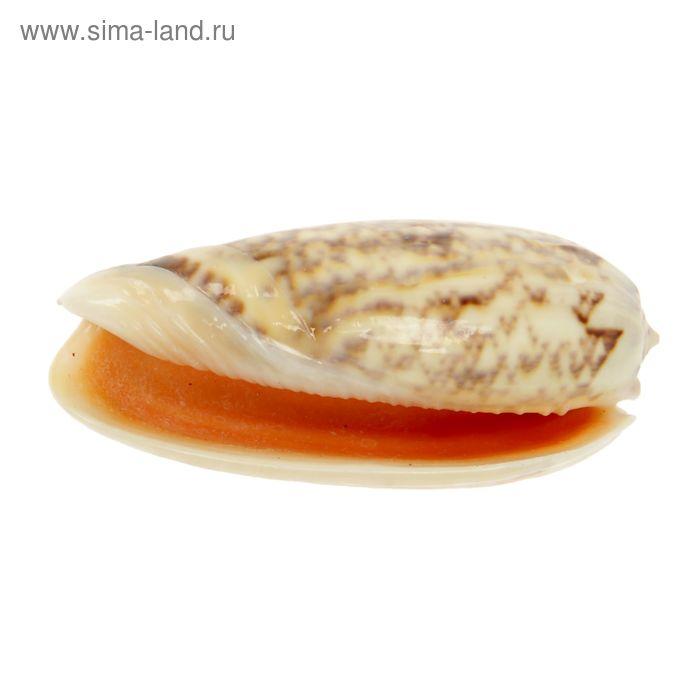 Морская раковина Оливия макс средняя 1428