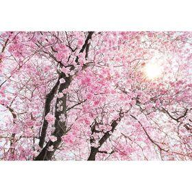 """Фотообои на флизелиновой основе Komar XXL4-046 """"Цветущая сакура"""", 3,68х2,48 м (состоит из 4 частей)"""
