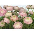 Фотообои Komar 8-894 Розовая купавка 3,68x2,54 м (состоит из 8 частей)