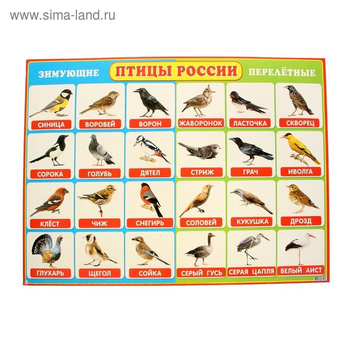 """Плакат """"Птицы России"""", 69x49 см"""
