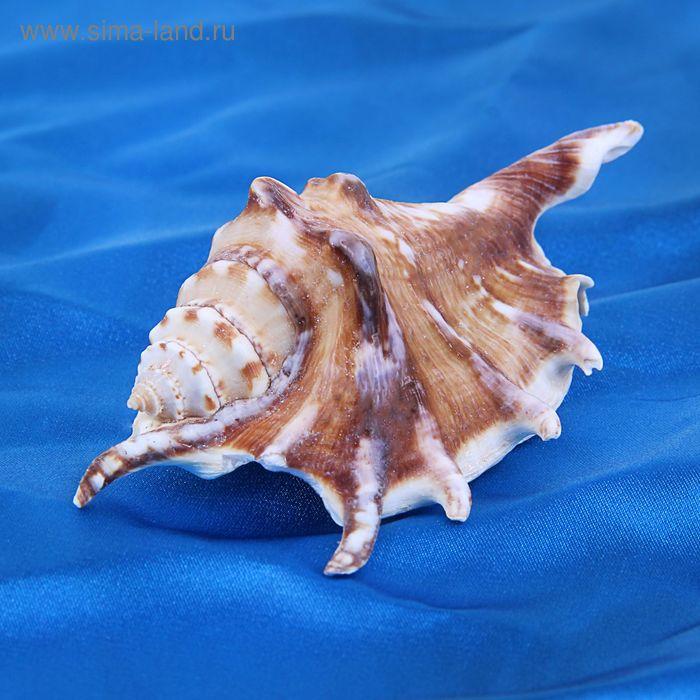 Морская раковина декоративная Ламбис черный F малый 3418