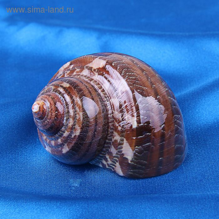 Морская раковина декоративная Турбо петхолатус 1866
