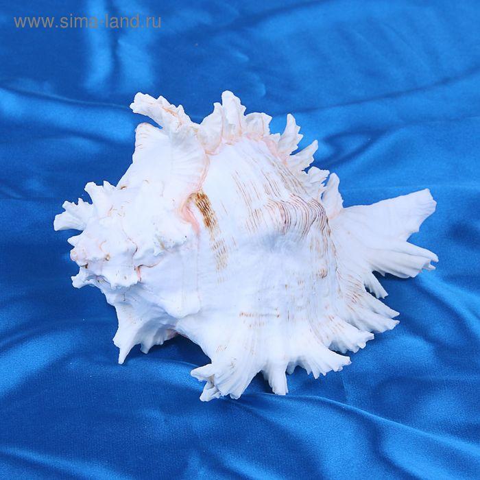 Морская раковина декоративная Чихориус рамосус 18 см,  0251