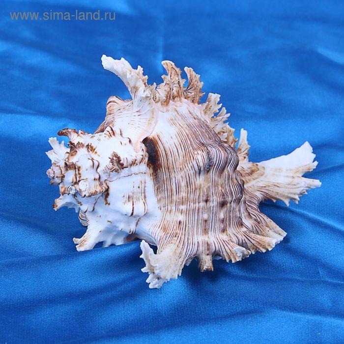 Морская раковина декоративная Чихориус рамосус 13 см,  2146