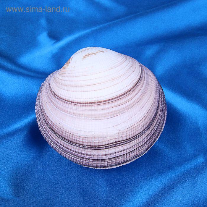 Морская раковина декоративная Максима клам большая 1644