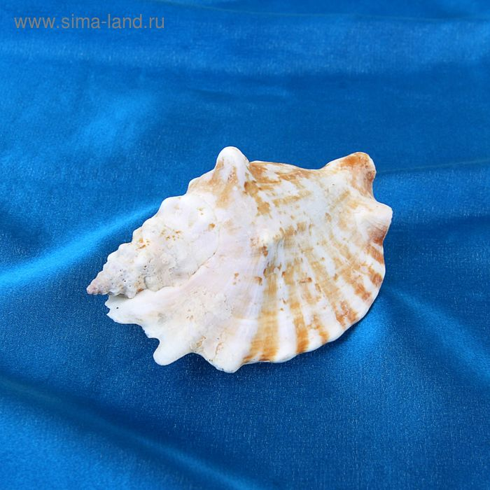 Раковина морская декоративная Стромбус синуатус 6514