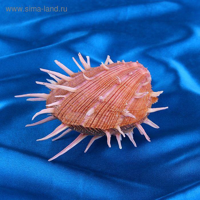 Морская раковина декоративная Спондилиус региус большой 3311