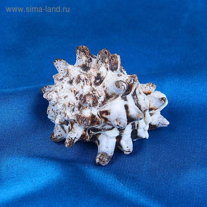 Морская раковина декоративная Циматиум пуран средний  6036